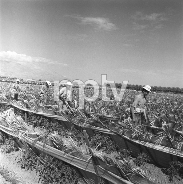 """Mexican Braceros (""""Helping Hands from Mexico"""" - The Saturday Evening Post - August 10, 1957 - volume 230, number 6)1957© 1978 Sid Avery - Image 0063_0031"""