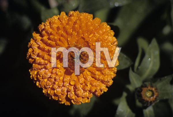 California Wild Flowerscirca 1960s© 1978 Sid Avery - Image 13675_0025