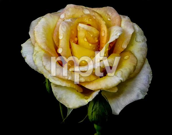 Flowerscirca 2000s© 2000 Joe Webster - Image 13675_0043