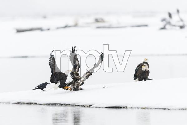 Alaska Chilkat Bald Eagle Preserve, Haines, Alaska2016© 2016 Deede Denton - Image 24368_0288