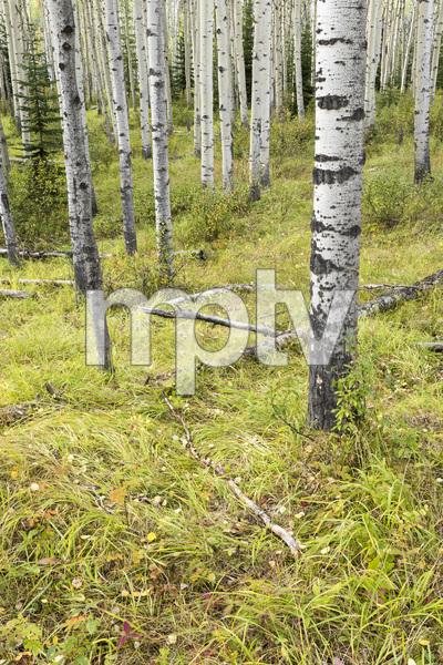 Jasper National Park, Alberta, Canada2017© 2017 Deede Denton - Image 24368_0391
